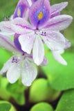 Water hyacinth. Bloom in garden Royalty Free Stock Photos