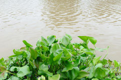 Water hyacinth Stock Photos