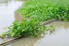 Water hyacinth Royalty Free Stock Images