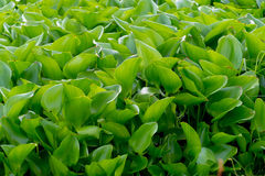 Water hyacinth background :a free-floating tropical American wat Stock Images