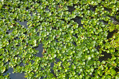 Water hyacinth. The background of water hyacinth. Scientific name:Eichhornia crassipes royalty free stock photos