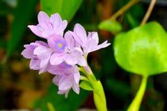 Water Hyacinth. Royalty Free Stock Photo
