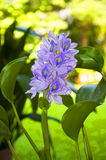 Water Hyacinth in the Botanic Garden Padua Italy Royalty Free Stock Photos
