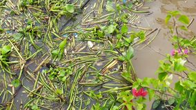 Water hyacinth and trashes floating in brown river. Water hyacinth branch leaf with plastic trash cluster grouping, floating on brown muddy river water stock footage
