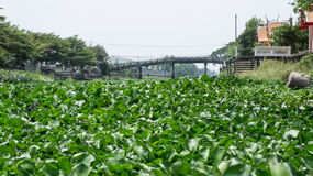 Water hyacinth on canal. Full Water hyacinth on canal in Thailand Stock Photography