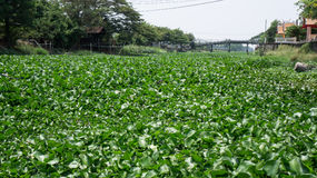 Water hyacinth on canal. Full Water hyacinth on canal in Thailand Stock Photos