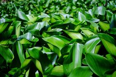 Water hyacinth in the canal. Stock Image