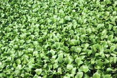 Water hyacinth carpet on a river surface. Water surface are fully covered by water hyacinth Stock Images