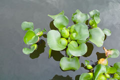 Water hyacinth. The close-up of water hyacinth. Scientific name:Eichhornia crassipes royalty free stock photo