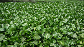 Water hyacinth. Close up of water hyacinth in Thailand Stock Photography
