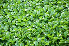 Water hyacinth. Cover a pond Royalty Free Stock Images