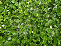 Water Hyacinth cover pond Stock Photos