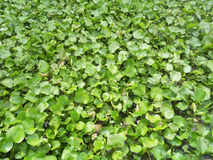 Water Hyacinth cover a pond Stock Photos