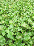 Water Hyacinth cover a pond Royalty Free Stock Photography