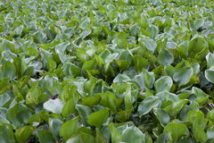 Water hyacinth. Crowd water hyacinth in a pond Royalty Free Stock Photos