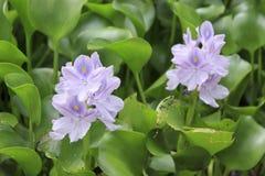 Water Hyacinth (Eichhornia crassipes). A pond covered with water hyacinth (Eichhornia crassipes) in Thailand Stock Photos