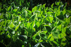 Water Hyacinth(Eichhornia crassipes) in brilliant green color Stock Photography