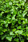 Water Hyacinth (Eichhornia crassipes) Royalty Free Stock Images