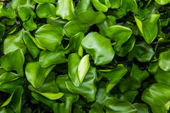 Water Hyacinth (Eichhornia crassipes) Stock Image