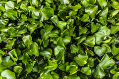 Water Hyacinth (Eichhornia crassipes) Royalty Free Stock Photos