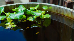 Water hyacinth. And fish in the barrels stock image