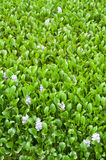 Water hyacinth with flower background Royalty Free Stock Images