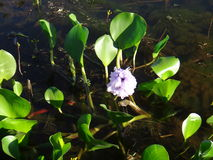 Water hyacinth - Flower Stock Photos
