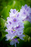 Water hyacinth flower Royalty Free Stock Photography