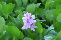 Water hyacinth flower Stock Images