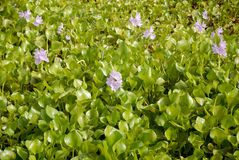 Water -Hyacinth Stock Photography