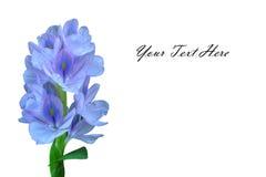 Water Hyacinth flower Royalty Free Stock Image