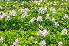 Water Hyacinth flowers Stock Photos