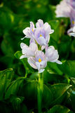 Water Hyacinth flowers and leaves in the pond. Stock Photography