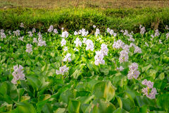 Water Hyacinth flowers and leaves in the pond. Royalty Free Stock Image