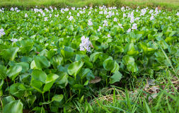 Water Hyacinth flowers and leaves in the pond. royalty free stock images