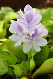 Water hyacinth flowers Royalty Free Stock Image