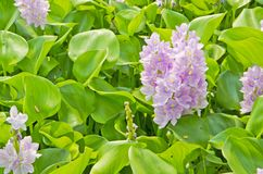 Water hyacinth Flowers. Royalty Free Stock Images