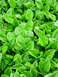 Water hyacinth green , background texture. Water hyacinth green , background in outdoor Royalty Free Stock Photo