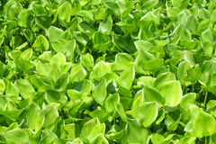 Water hyacinth green plant cover the river. Water hyacinth green plant cover the river texture background Royalty Free Stock Images