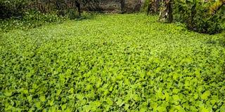 Water hyacinth royalty free stock photo