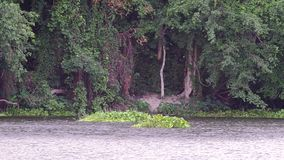 Water hyacinth group float over the reservoir stock footage