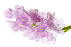 Water hyacinth isolated Royalty Free Stock Photos