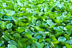 Water hyacinth leaves Stock Photography