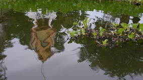 Water hyacinth plant and temple reflection. stock video footage