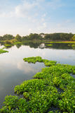 Water Hyacinth in pond Stock Photography