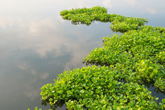 Water Hyacinth in pond Stock Image