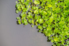Water Hyacinth in pond Royalty Free Stock Image