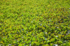 Water hyacinth in the pool. Many water hyacinths in sunny day Stock Photography