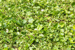 Water hyacinth in river. Photo stock photography