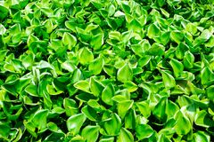 Water hyacinth in river. Rolling green lotus leaf green royalty free stock images